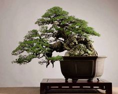 What an absolutely stunning trunk and fine ramification on this Vietnames style Bonsai tree, by Diễn Đàn Cây Cảnh. Raw, natural beauty! https://www.bonsaiempire.com  #bonsai #bonsaitree #vietnam #nature #tree