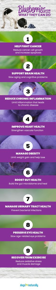 Improving gut health can also help manage obesity … and blueberries can do that too!