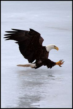 Bald Eagle coming in for a landing!  Very cool picture.