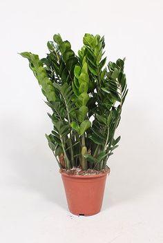 Zamioculcas Zamiifolia - Emerald palm