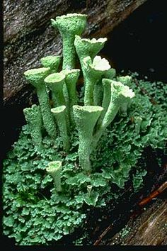 "Cladonia carneola, the ""crowned pixie-cup"", on decaying wood in the Strawberry Mountains of eastern Oregon."