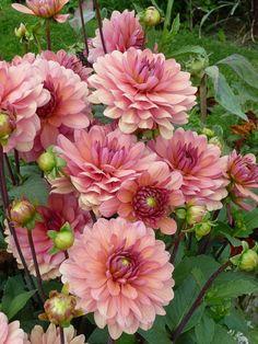 Dahlia 'Château de la Bourdaisière' (Label Rouge. Dahlias | Fall Wedding Bouquets | Simple Fall Wedding Bouquets. #bridalshower #Dahlia-pink. Visit the image link for more details.