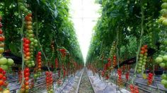 Vertically Grown Hydroponic Tomatoes