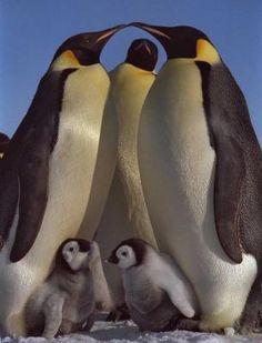 O Pinguim Imperador vive no Ártico, em colônias com mais de centenas de indivíduos, sendo que é um dos poucos animais que não saem de lá no inverno. Ele é um excelente nadador, podendo atingir uma velocidade de 40km/h, mergulhando até 60m de profundidade, podendo prender a respiração por cerca de 20 minutos, fora conseguir, com um único salto, sair da água e ir par um bloco de gelo.