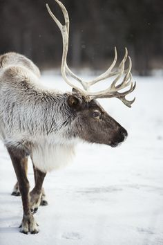 Winter Caribou - The beautiful woodland Caribou. Caribou Hunting, Baby Animals, Cute Animals, Woodland Creatures, Reno, Forest Animals, Animals Of The World, Animal Photography, Pet Birds