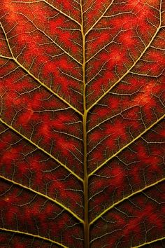Fractal branching patterns in nature - Backlit, Close Up Of A Smoke Tree Leaf  Joe Petersburger