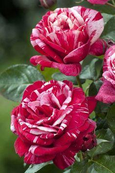 Rosa 'SACEM' ® | Hybrid Tea rose