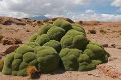Yareta plant in the Andes (AKA dino-poo) lol