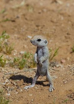 Learning to stand (a week old round-tailed ground squirrel), photo by Eirini Pajak.