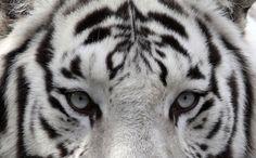 Un tigre de bengala blanco en el zoológico nacional de Rusia.