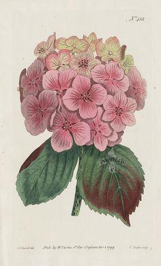 Hydrangea Hortensis. Garden Hydrangea. (2 Prints) from William Curtis Flowers, Hydrangea, Hibiscus, Hyacinth, Red Lily, Chrysanthemum, Tulip