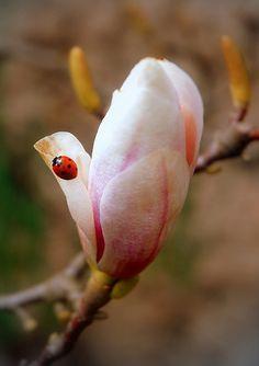 Magnolia by Nilla_, via Flickr