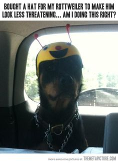 Bought a hat for my Rottweiler to make him look less threatening.why is this so funny? Love My Dog, Puppy Love, Funny Shit, Funny Cute, Freaking Hilarious, Hilarious Memes, Funny Humor, Funny Stuff, Funniest Memes