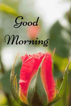 Morning pictures with red rose. Good Morning Picture Messages, Good Afternoon My Love, Good Morning Winter, Good Morning Poems, Good Morning Flowers Pictures, Good Morning Greeting Cards, Good Morning Romantic, Good Morning Beautiful Pictures, Good Morning Nature
