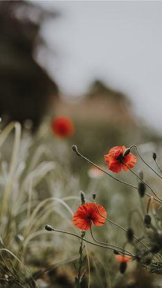 Photo by Annie Spratt on Unsplash Flora Flowers, Wild Flowers, Little Flowers, Pretty Flowers, Red Wildflowers, Poppy Images, Wild Poppies, Flower Aesthetic, Beige Aesthetic
