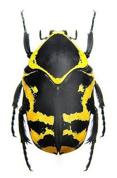 Image result for armored beetle fly