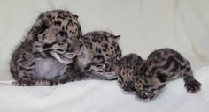 Nashville Zoo is proud to announce the births of two litters of Clouded Leopards. On Feb. 13, Lom Choy and her mate Luk welcomed two cubs, one male and one female. On March 11, Jing Jai and her mate Arun also welcomed a male and female pair. Both sets of parents are housed off-exhibit, and the cubs are being hand-reared together. In the coming weeks, a female Clouded Leopard cub born March 8 at the National Zoo in Washington, D.C. will arrive to join Nashville's four. The zoo plans to place…