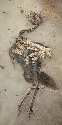 Fossil Eocene bird 48 million years old by pomphorhynchus, via flickr