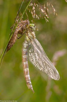 Perfect frisch geschl pfte Libelle mit Exuvie