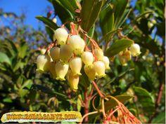 Medronho tree/Flower, Algarve Portugal at zonalgarve.com Algarve, Portugal, Alter, Landscapes, Country, Book, Healthy, Garden, Nature