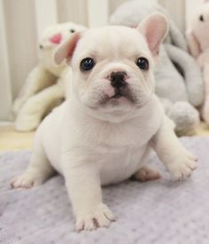 """Check out our web site for more relevant information on """"French Bulldog Puppies"""". It is a great location to get more information. Bulldog Puppies For Sale, French Bulldog Puppies, Dogs And Puppies, Blue Fawn French Bulldog, French Bulldogs, English Bulldogs, French Bulldog Pictures, Baby Animals, Cute Animals"""