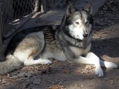 german shepard Wolf Hybrid | ... Hybrid Pups((Dad Timber wolf and Mom timber wolf and German Shepherd Big Dogs, Dogs And Puppies, Doggies, King Koopa, Timber Wolf, Military Dogs, Working Dogs, Cute Funny Animals, So Little Time