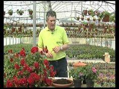 El jardinero en casa: geranios y gitanillas