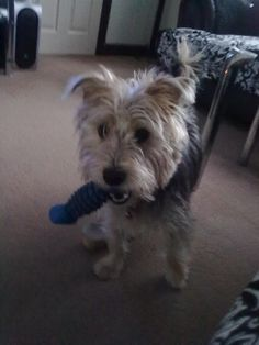 Name: Sammy, Breed: Yorkshire Terrier X Jack Russel