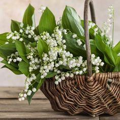 Caravan İdeas 562668547189532584 - Muguet Source by anahitazada Bambou Fargesia Robusta, Albizia Julibrissin, 1. Mai, Plantar, Exotic Plants, Ikebana, My Flower, Planting Flowers, Flower Arrangements