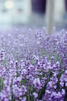 .....a lavender field....