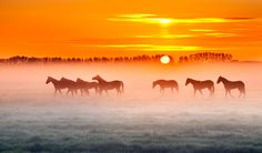 Horses in the mist ........... by Marinus Keyzer de on 500px... #Horses #betuwe #fog #golden #holland #hour #mist #morning #paarden #sunrise