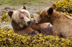 Where to see Grizzly Bears in Canada. http://www.wildlifetrails.co.uk/blog/where-to-see-wildlife-in-canada-grizzly-bear-facts