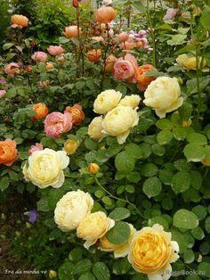 Lady Emma Hamilton: Orange and yellow roses.Charlotte, Lady Emma Hamilton: Orange and yellow roses. Rosas David Austin, David Austin Rosen, Love Rose, Pretty Flowers, Exotic Flowers, Purple Flowers, Beautiful Roses, Beautiful Gardens, Simply Beautiful