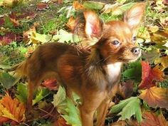 Russian Toy Terrier | Pictures, Info, Reviews