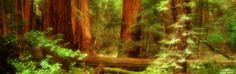 Muir Woods, Trees, National Park, Redwoods, California Photographic Print