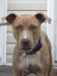 10/01/14 sl - Luna - Pit Bull Terrier Mix • Young • Female • Medium Animal Protection League Columbia, SC