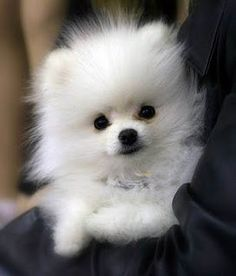 "Pomeranian- I love the white ones... they look like you are carrying a purse, lol... but seem to have lots of loving for you too... It makes it easy for a guy to walk up to you and say, ""Oh, what a cute little dog... Hi, what's your name?"" LOL"