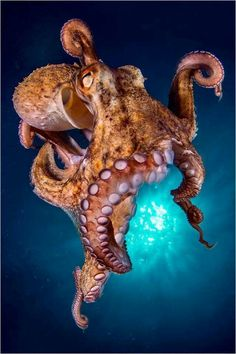 Octopus. Reference for tattoo.  This one looks high..lol