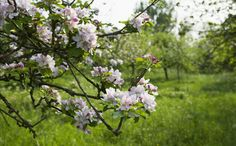 Saving the traditional apple orchard