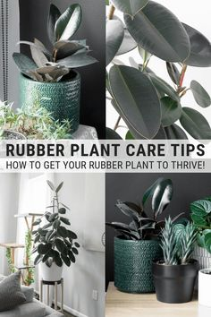 Learn how to care for a rubber plant! These are all the rubber tree care tips you need to help your plant grow and thrive. Learn how to care for a rubber plant! These are all the rubber tree care tips you need to help your plant grow and thrive.