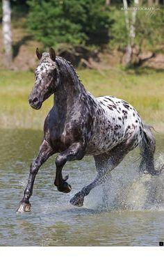 gorgeous Beautiful cross fries x appaloosa running through the water! Pretty Horses, Horse Love, Beautiful Horses, Animals Beautiful, Cute Animals, Funny Animals, Horses And Dogs, Wild Horses, Horse Photos
