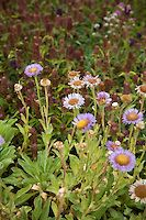 Erigeron glaucus, Seaside Aster, fleabane, Green roof native plant meadow California Academy of Science
