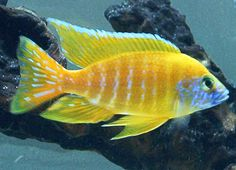 "Aulonocara Stuartgranti ""Maleri Island"" Tropical Freshwater Fish, Tropical Fish Aquarium, Freshwater Aquarium Fish, Saltwater Aquarium, Aquarium Fish Tank, Cichlid Aquarium, Cichlid Fish, Malawi Cichlids, African Cichlids"