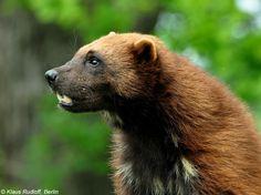Europäischer Vielfraß (Gulo gulo gulo) im Zoo Hluboka / Tschechien ...