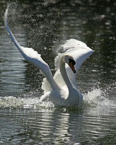 Wings up landing (Mute swan) Swan Love, Beautiful Swan, Beautiful Birds, Animals Beautiful, Swans, Cygnus Olor, Animals And Pets, Cute Animals, Mute Swan