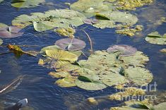 Water Lilies, Scenery, Lily, Birds, Wall Art, World, Plants, Painting, Animals