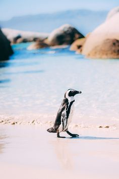 Explore Boulders Beach and hang out with Cape Town's favourite tuxedoed friends, the comical African penguins. National Park Tours, National Parks, African Penguin, Boulder Beach, Cape Town South Africa, Bouldering, Hanging Out, Explore, Pattern Print