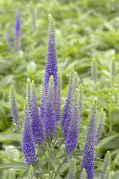 Royal Candles Speedwell (Veronica x 'Glory' P.# - Monrovia - Royal Candles Speedwell (Veronica x 'Glory' P. Sun Perennials, Herbaceous Perennials, Purple Perennials, Fall Flowers, Blue Flowers, Veronica, Sheridan Nurseries, Monrovia Plants, Picture Tree