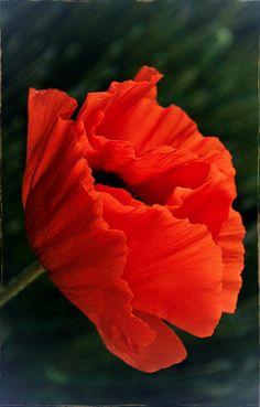 Poppy ~ by uiethma on Flickr*