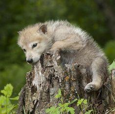 beautiful-wildlife:Wolf Pup by  Jim Zuckerman by beautiful-wildlife